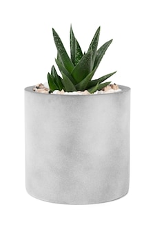 かわいい鍋に小さなアロエベラの植物
