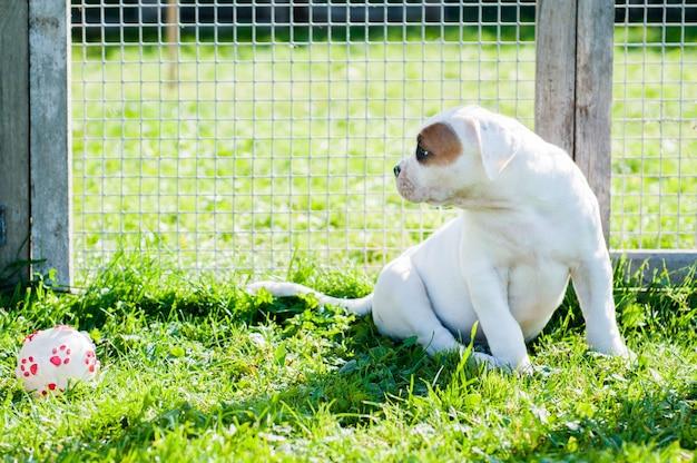 Маленький щенок американского бульдога играет с мячом на природе.