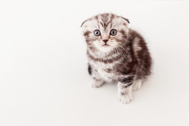 Маленький и любопытный. вид сверху любопытного котенка шотландской вислоухой, смотрящего в камеру