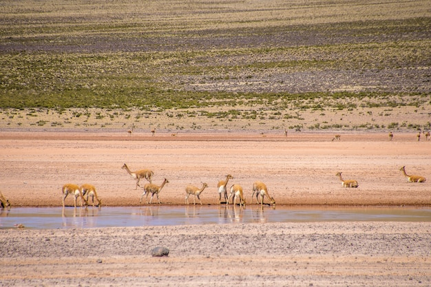 Small antelopes drinking water from the lake while standing in a deserted valley