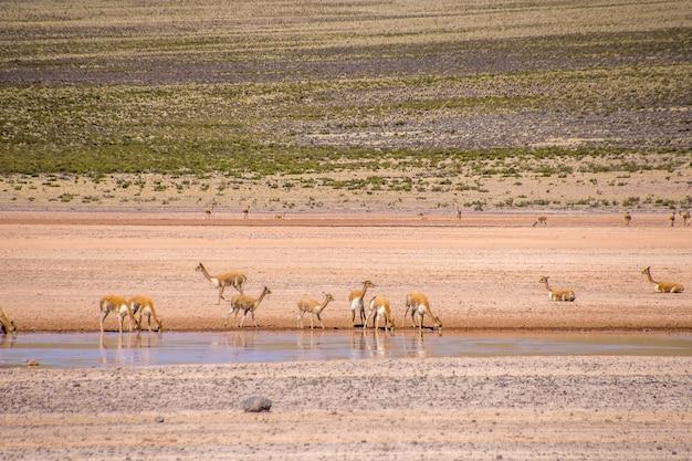 Маленькие антилопы пьют воду из озера, стоя в безлюдной долине
