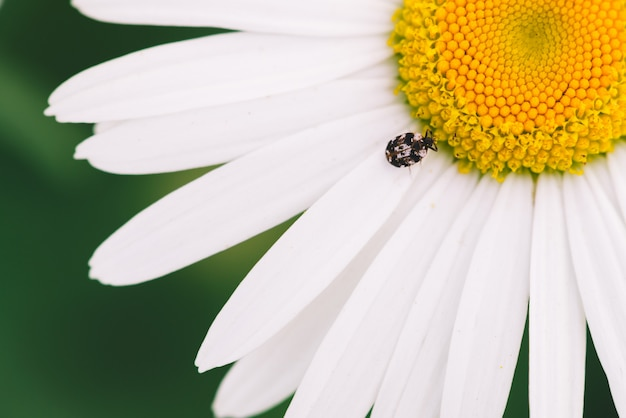 Small anther crawls on big daisy in macro