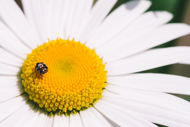 Small anther crawls on big daisy in macro.
