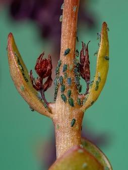 Kalanchoe blossfeldiana 종의 flaming katy 식물에 있는 aphididae 계통의 작은 진딧물 곤충