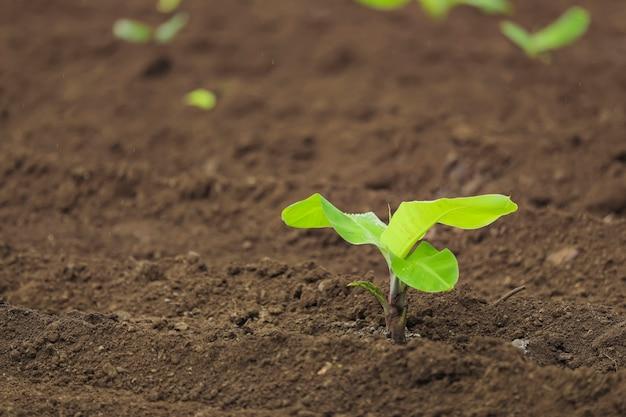 土壌中の小さなバナナ植物