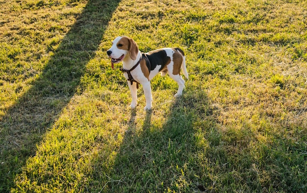 A small beagle dog walks in a public park. cute puppy on the green grass.