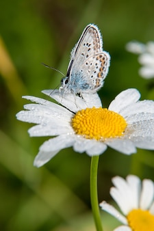 Small beautiful butterfly is sitting on camomile flower. close up.