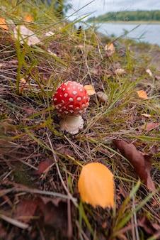 Маленький красивый ядовитый гриб мухомор в осеннем лесу