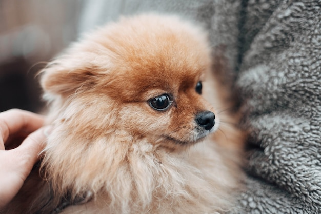 작고 아름다운 얽히고 설킨 붉은 색 스피츠 개