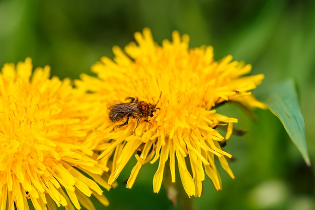 Small bee collects pollen on dandelion close up