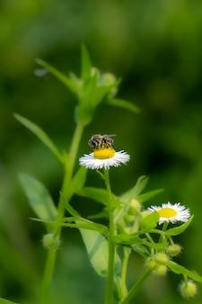 Маленькая пчела опыляет белый цветок ромашки