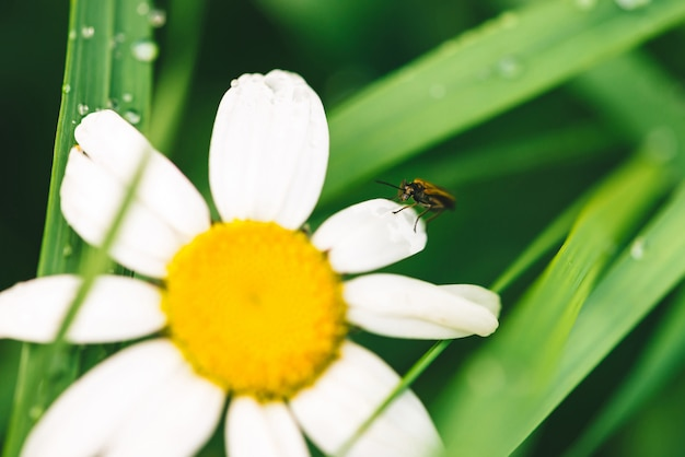 Small beetle cerambycidae on daisy near shiny green grass with dew drops close-up with copy space