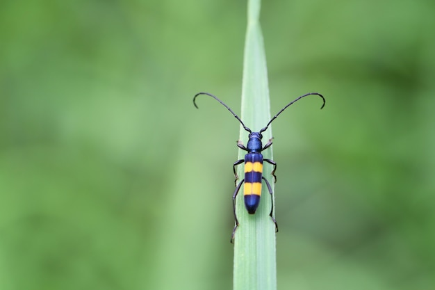 Small beetle insect in black or yellow alternate on green leaves.