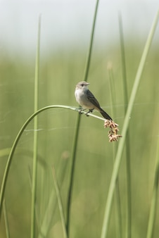 Small bird standing on the tall grass leaf