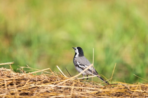 A small bird, white wagtail, motacilla alba, walking on a green lawn. preparing to fly.