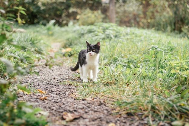 Маленький черно-белый котенок 4 месяца гуляет по тропинке среди размытой зеленой травы