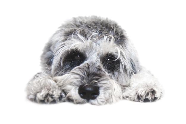 白い背景の上のカメラを見て小さな黒と白のミニチュアシュナウザー犬