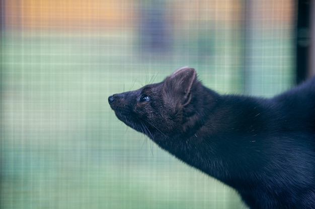 バーの後ろの檻の中の小さな黒い動物のヨーロッパミンク。高品質の写真