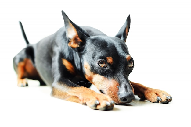 Small black and brown pinscher  lies on white background isolated