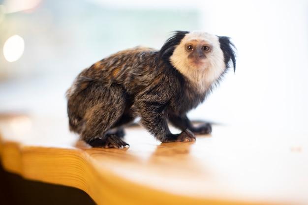 明るい背景に小さな黒い紋付きの猿。動物。小猿