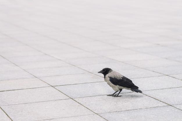 小さな黒いカラスはコピースペースを持つ灰色の歩道を歩きます。小さなカラスと舗装の背景。アスファルトの上の野鳥の階段をクローズアップ。都市動物の捕食動物。