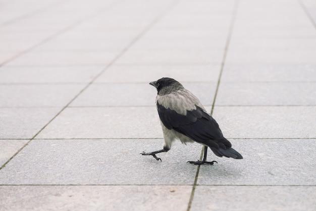小さな黒いカラスはコピースペースを持つ灰色の歩道を歩きます。小さなカラスのいる舗装。アスファルトの上の野鳥の階段をクローズアップ。都市動物の捕食動物。