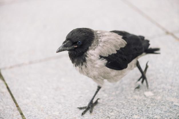 小さな黒いカラスはコピースペースを持つ灰色の歩道を歩きます。小さなカラスのいる舗装。アスファルトの上の野鳥のステップ。都市動物の捕食動物。鳥の羽が間近です。