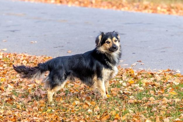 秋の公園を散歩している小さな黒い犬