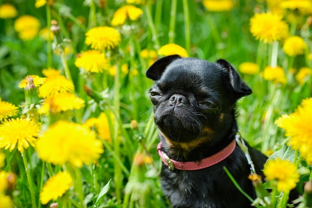 A small black dog sits on the green grass with yellow dandelions