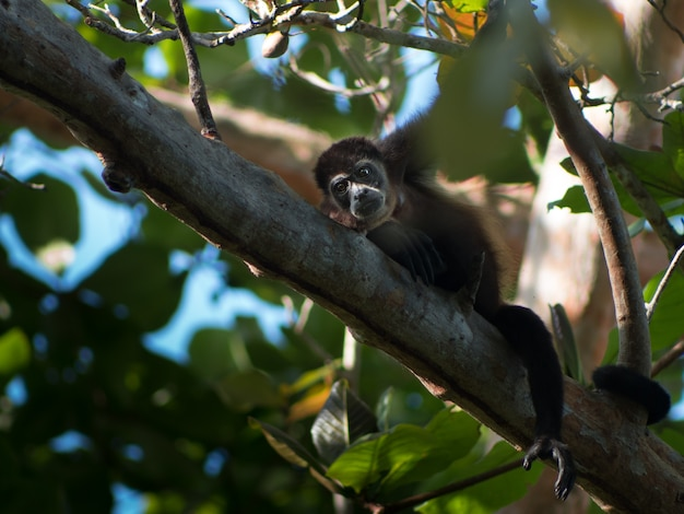 Small black monkey resting on a tree branch in a forest