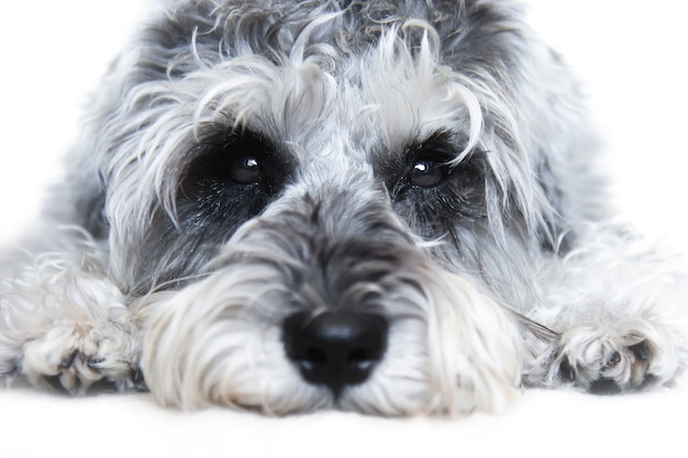 Small black and white miniature schnauzer dog looking at camera on white background