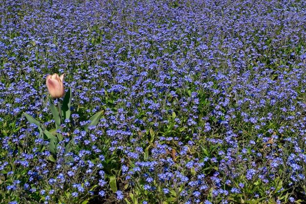 정원에서 꽃 침대에 작은 파란색 꽃. 많은 보라색 꽃
