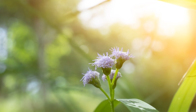 Small blue and white flowers macro photography with flare it is an endemic flower in asia