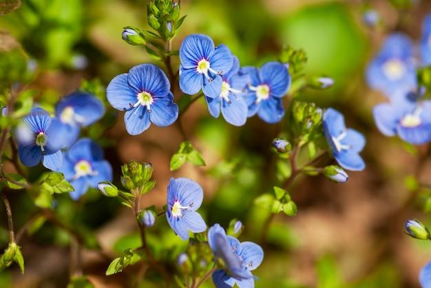 小さな青い野生の花のクローズ アップ。