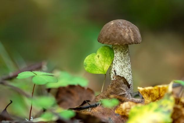 Гриб подберезовик растет в лесу среди опавших осенних листьев