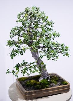 Небольшое дерево бонсай в горшке