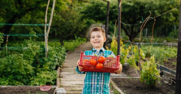 A small boy stands with a whole box of ripe vegetables at sunset in the garden and smiles. agriculture, harvesting. environmentally friendly product.