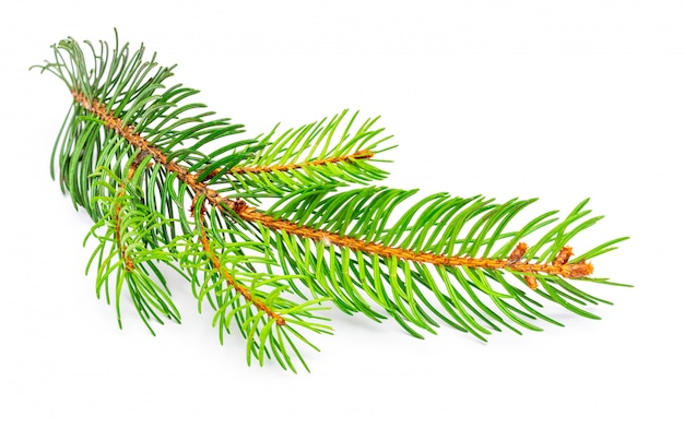 Small branch of christmas tree