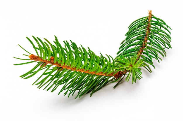 Small branch of christmas tree.