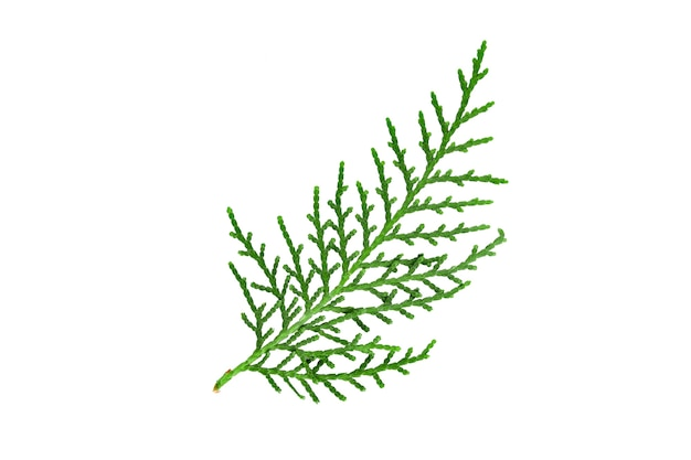 Small branch of fir isolate on white background