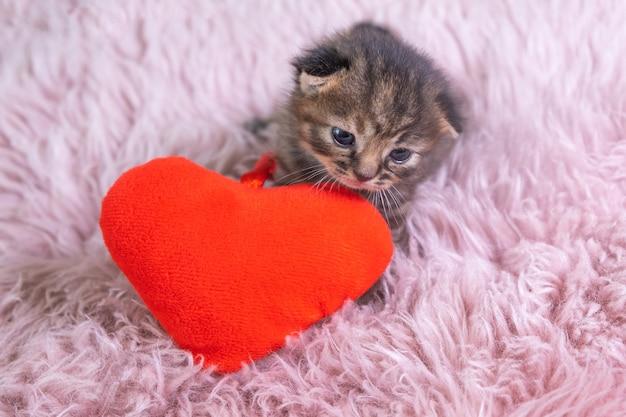 심장 모양의 빨간 베개에 서 있는 작은 영국 쇼트헤어 고양이