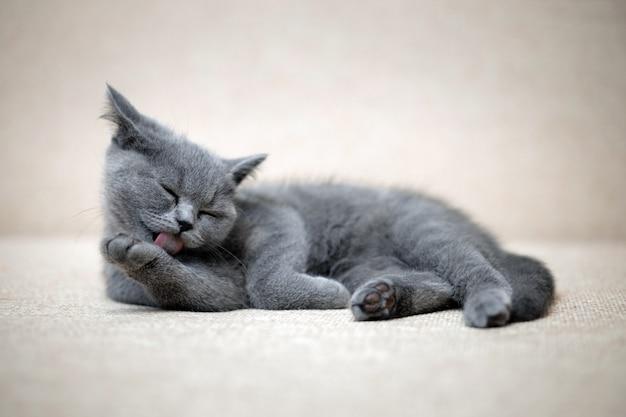 Small british shorthair plush gray kitten