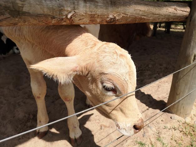 Маленький коричневый теленок в амбаре на сельской ферме.