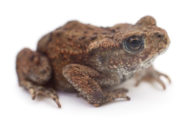 Малая коричневая лягушка, изолированные на белом фоне.