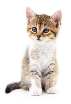 Маленький коричневый котенок, изолированные на белом фоне.