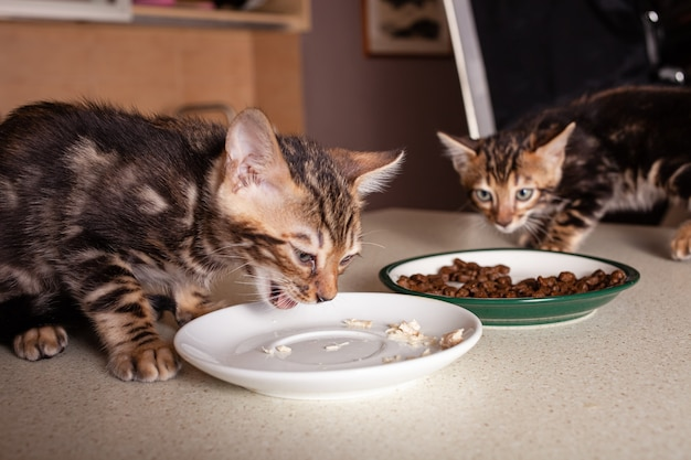 A small brown leopard beige bengal kitten sits on a beige bar table and eats pieces of boiled chicken from a saucer