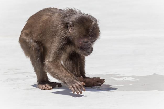 Piccola scimmia marrone in habitat naturale