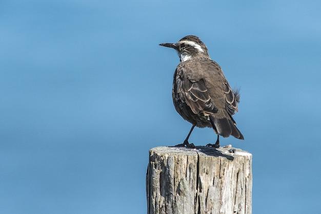 Piccolo uccello cinclodes dal becco robusto marrone in piedi sul legno