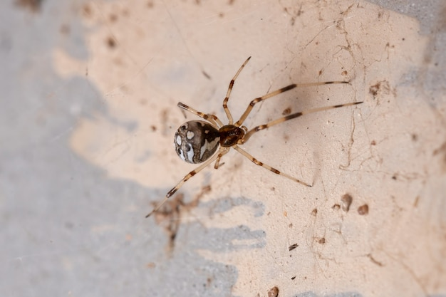 Small brown widow of the species latrodectus geometricus