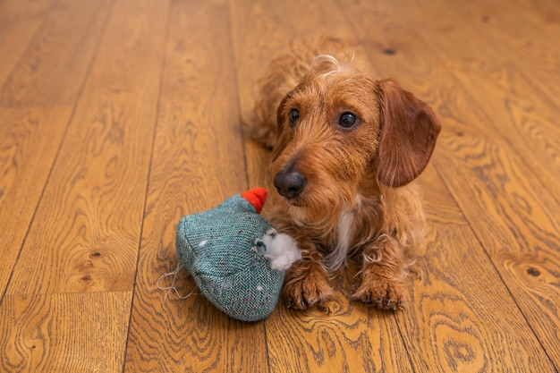 Small brown wire-haired dachshund with destroyed toy